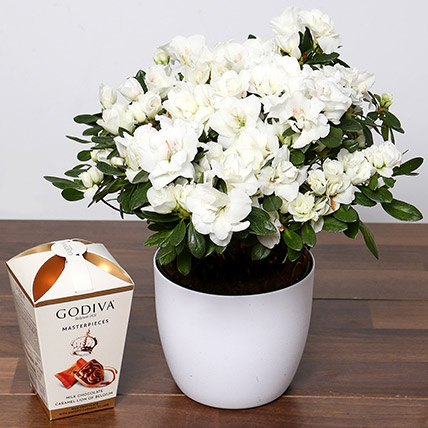 Beautiful White Azalea Plant and Godiva Truffles: Shrubs