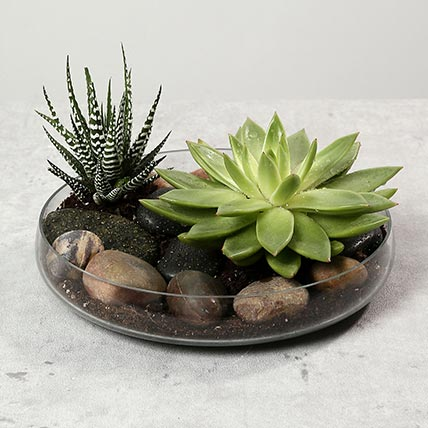 Green Echeveria and Haworthia with Natural Stones: