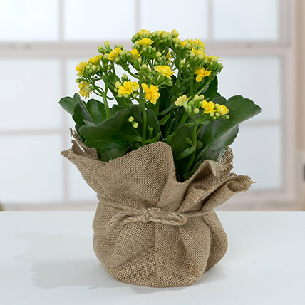 Jute Wrapped Yellow Kalanchoe Plant: Home Decor Items