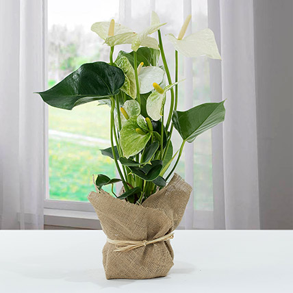 White Anthurium Jute Wrapped Potted Plant: