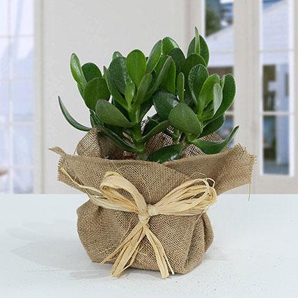 Classic Crassula in Jute Wrapping Pot: