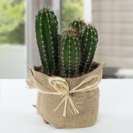 Cactus Jute Wrapped Potted Plant: Gifts For Doctor's Day
