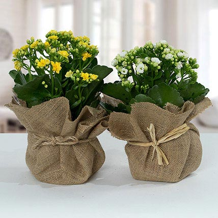 Jute Wrapped Dual Potted Plants: Best Outdoor Plants in Dubai
