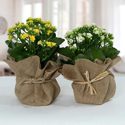 Jute Wrapped Dual Potted Plants: Succulent Plants