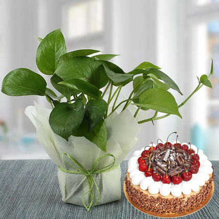 Money Plant and Blackforest Cake Combo: Money Tree Plants