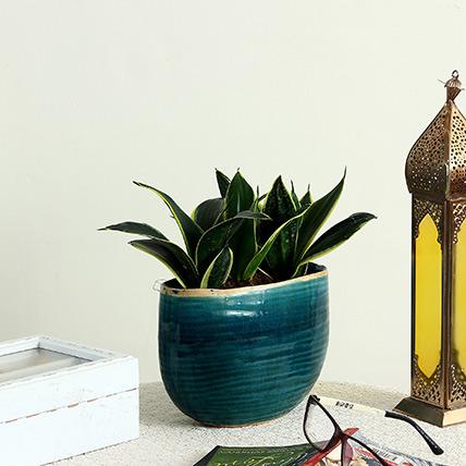 Sansevieria Plant in Blue Ceramic Pot: Outdoor Plants to Ras Al Khaimah