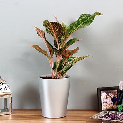 Pink Aglaonema Plant in Silver Plastic Plant: Best Outdoor Plants in Dubai