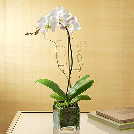 White Orchid Plant In Glass Vase: Fathers Day Gifts Idea