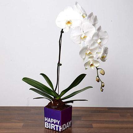 White Phalaenopsis Plant For Birthday: