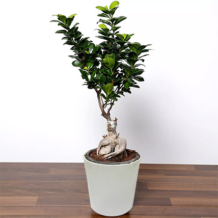 Ficus Bonsai Plant In Ceramic Pot: Indoor Bonsai Tree