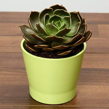 Green Echeveria Plant In Green Ceramic Pot: Indoor Plants in Dubai