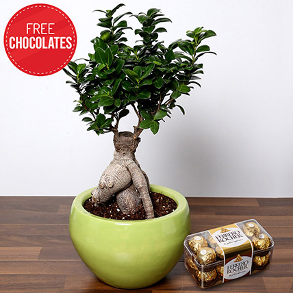 Bonsai Plant and Free Chocolates: Indoor Bonsai Tree