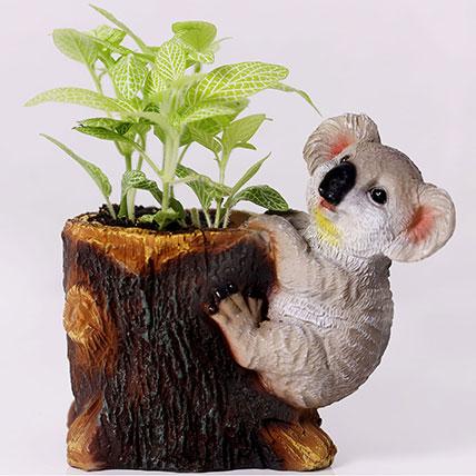 Classic Fittonia in Koala Pot: