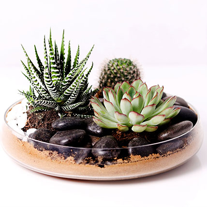 Combo of 3 Plants In Clear Glass Platter: