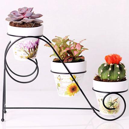 Combo of 3 Plants In Triplet Pot Base: Desktop Plants