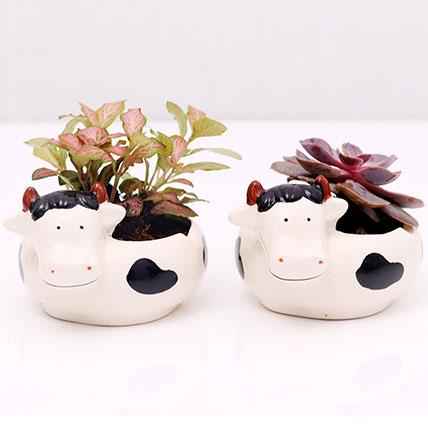 Fittonia and Echeveria Plants in Cow Design Pots: