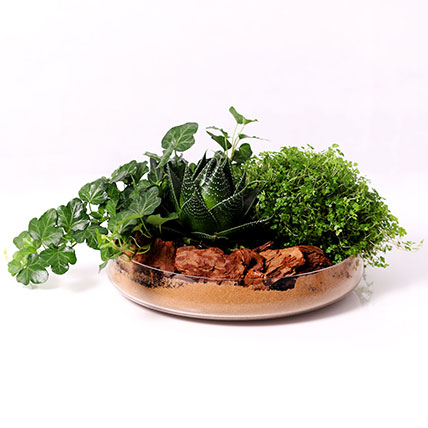 Set of 3 Plants in Glass Platter: Air Purifying Indoor Plants