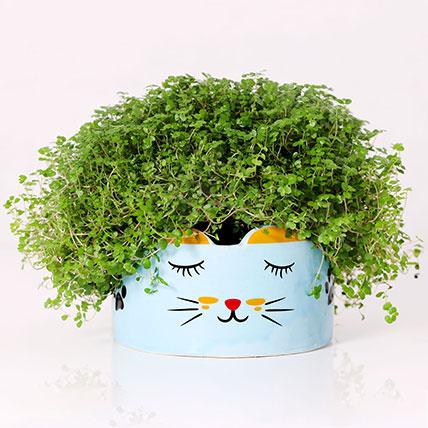 Soleirolia Plant in Sleeping Cat Pot: Plants in Dubai
