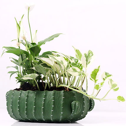 Spathiphyllum and Scindapsus In Designer Pot: Money Tree Plants