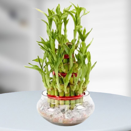 Good Luck Plant 3 Layers: Indoor Plants in Dubai
