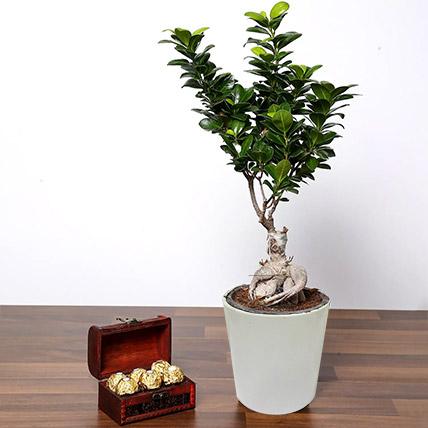Ficus Bonsai Plant In Ceramic Pot and Chocolates: