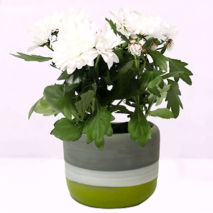 White Chrysanthemum Plant in Ceramic Pot: Desktop Plants