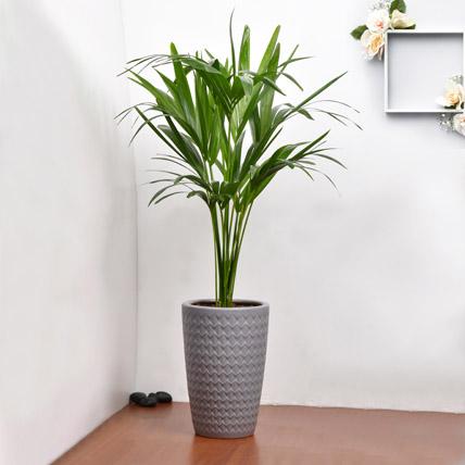 Kentia Palm: Indoor Plants in Dubai