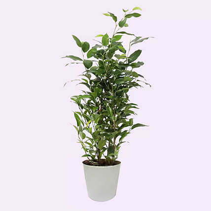 Ficus Plant In Ceramic Pot: Air Purifying Indoor Plants