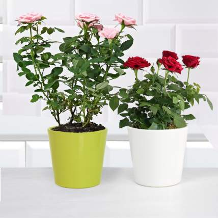 Pink and Red Rose Plant: Shrubs