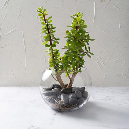 Jade Plant In Glass Bowl: Indoor Plants