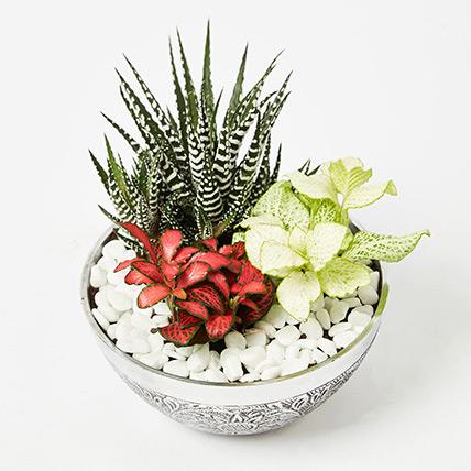 Fittonia & Haworthia Plant In Designer Pot: Plants for Birthday Gift
