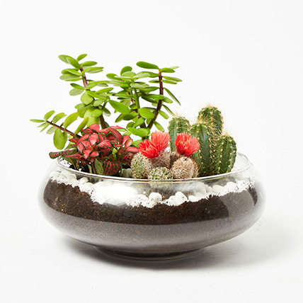 Jade With Fittonia & Cactus Plant In Small Fish Bowl: Cactus Plants and Succulents Plants
