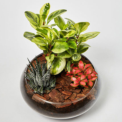 Fittonia With Peperomia & Haworthia In Platter Planter: Congratulations Gifts
