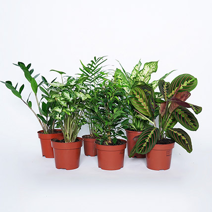 Airpurifying and Indoor Greens Combo: Plant Combos