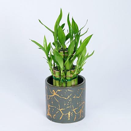 2 Layer Lucky Bamboo Plant In Designer Ceramic Pot: Lucky Bamboo