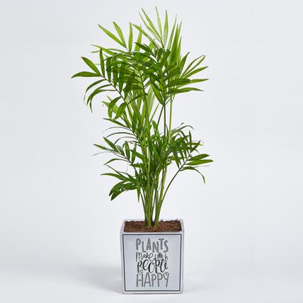 Chamaedorea Plant in Squre Vase: Office Plants