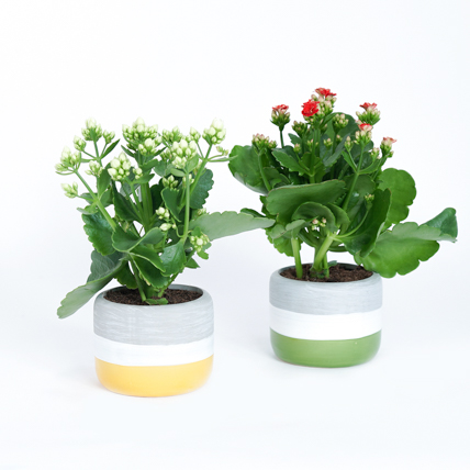 White and Red Kalanchoe Plants: Plant Combos
