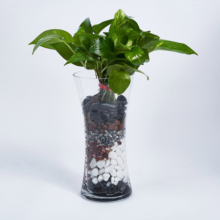 Money Plant in Tall vase: Office Plants
