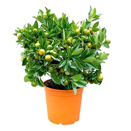 Calamansi Plant Pot: Outdoor Plants