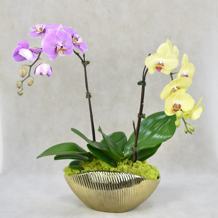 Dual Orchid Beauty: Orchid Plants