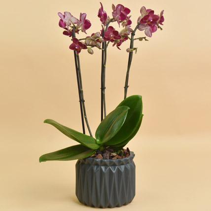 Dual Shade Phel in Premium Planter: Orchid Plants