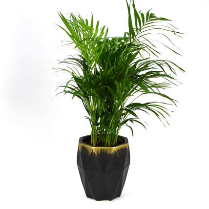 Medium Areca Palm Plant: Office Plants
