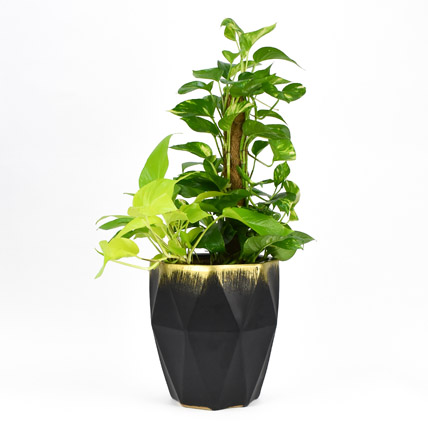 Tall Money Plant In Beautiful Pot: New Arrival Plants