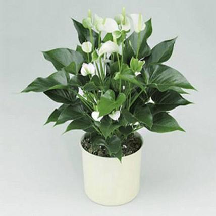 White Anthurium Plant: Home Decor Items