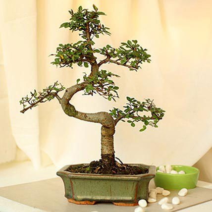 Elm Bonsai PH: Gift Delivery Philippines