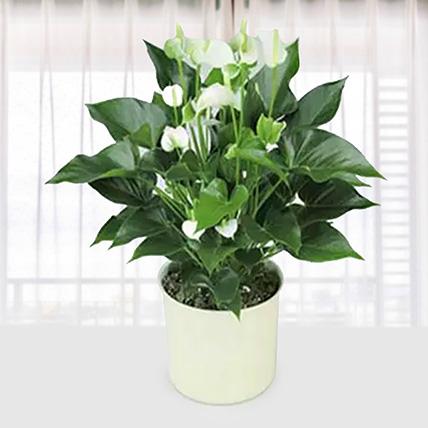 White Anthurium Plant: Send Gifts to Qatar