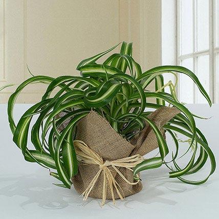 Jute Wrapped Green Wonder: