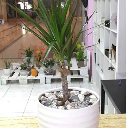 Lovely Dracaena Plant