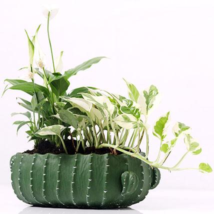 Spathiphyllum and Scindapsus In Designer Pot
