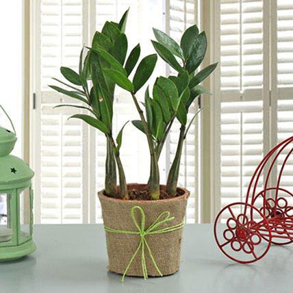 Zamia Plant PH